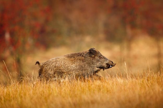 boar hunting 2 ss