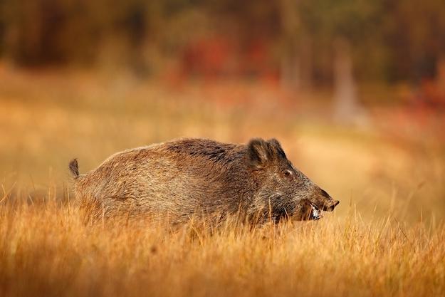 boar hunting 3 ss