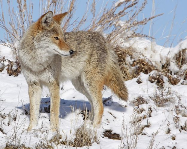 The Wily Hunter And His Coyote Hunting Tips