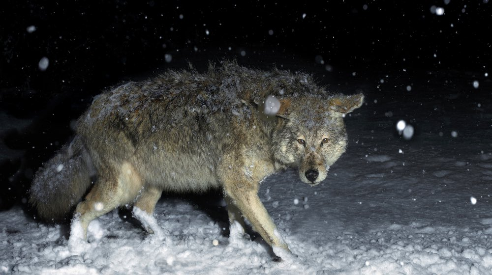 brush-wolf-coyote-winter-snow-night| How to Have A Successful Coyote Hunting at Night | Featured